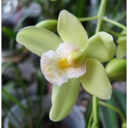 Cymbidium hübriid